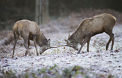 © Licensed to London News Pictures. 22/01/2021. London, UK. Deer lock antlers in a frosty Richmond Park in south west London. Storm Christoph has brought more flooding across England and Wales this week. Photo credit: Peter Macdiarmid/LNP