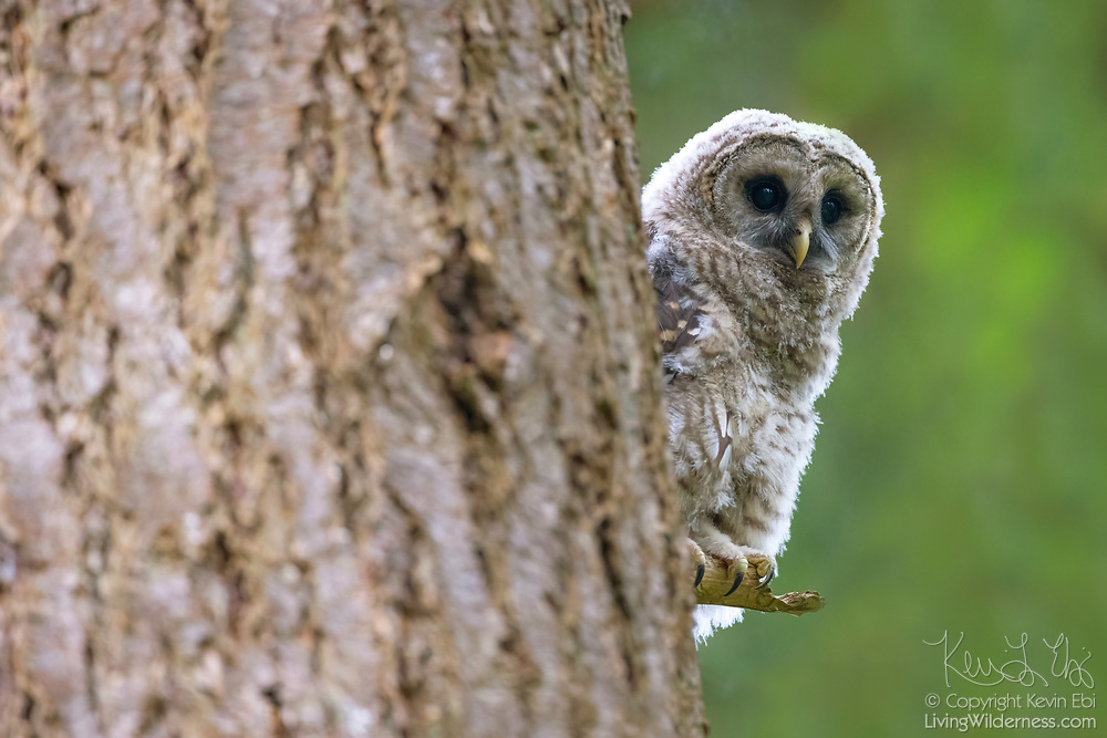 A young barred owl (Strix varia) peeks around the trunk of a large tree to check out its surroundings in an Edmonds, Washington, forest.