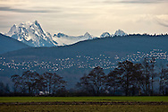 Snow Geese (Chen caerulescens) fly in the early morning with Whitehorse mountain in the background while wintering at Fir Island in the Skagit River Delta at Puget Sound, Washington state, USA.
