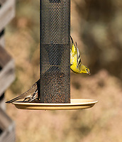 Lesser Goldfinch, Carduelis psaltria, and White-crowned Sparrow, Zonotrichia leucophrys, perch on a feeder in Sacramento National Wildlife Refuge, California