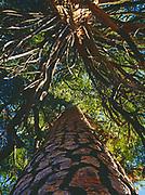 Ponderosa Pine, Pinus ponderosa, and Incense Cedar, Libocedrus decurrens, reaching for the sky, Chilnaulna Falls Trail, Yosemite National Park, California.
