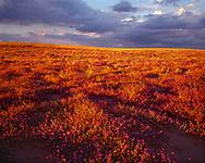 CADSE_101 - USA, California, North Algodones Dunes Wilderness, Sunset on desert sand verbena and dune evening primrose growing on edge of dunes.