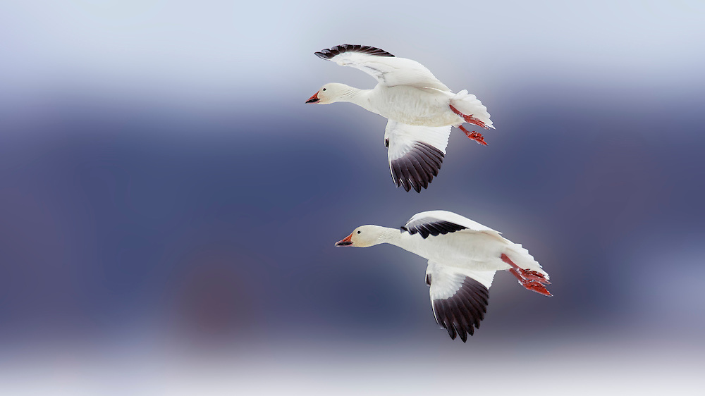 The Snow Goose has two color plumage morphs, white (snow) or gray/blue (blue), thus the common description as snows and blues. White-morph birds are white except for black wing tips, but blue-morph geese have bluish-grey plumage replacing the white except on the head, neck and tail tip. The immature blue phase is drab or slate-gray with little to no white on the head, neck, or belly.<br /> <br /> Outside of the nesting season, they usually feed in flocks. In winter, snow geese feed on left-over grain in fields. They migrate in large flocks, often visiting traditional stopover habitats in spectacular numbers. Snow Geese often travel and feed alongside Greater White-fronted Geese; in contrast, the two tend to avoid travelling and feeding alongside Canada Geese, which are often heavier birds.<br /> <br /> The breeding population of the Lesser Snow Goose exceeds 5 million birds, an increase of more than 300 percent since the mid-1970s. The population is increasing at a rate of more than 5 percent per year. Non-breeding geese (juveniles or adults that fail to nest successfully) are not included in this estimate, so the total number of geese is even higher. Lesser Snow Goose population indices are the highest they have been since population records have been kept, and evidence suggests that large breeding populations are spreading to previously untouched sections of the Hudson Bay coastline.