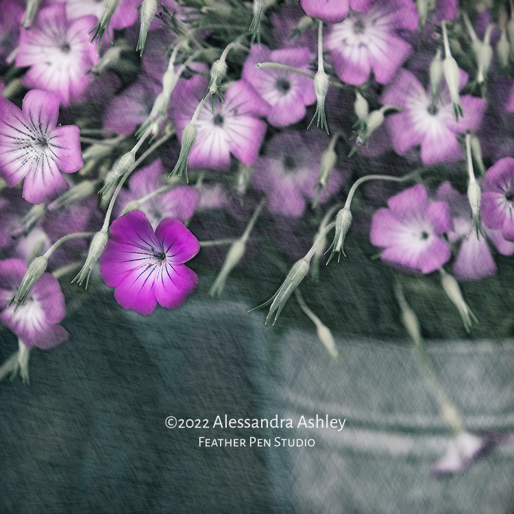 Cut purple geraniums in old-fashioned metal bucket found at  farmer's market.  Pencil drawing effect selectively blended.