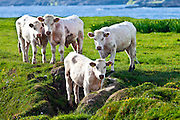 Charolais cattle on coastal pasture in County Clare, West Coast of Ireland