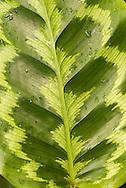 Leaf closeup, Lyon Aboretum, Oahu, Hawaii