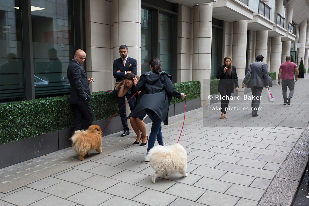A family of pomeranian dogs (aka Zwergspitz) are being taken out for their regular walk by their owners around the block in Mayfair, on 4th September 2017, in London, England. The Pomeranian is a breed of the Spitz type named for the Pomerania region in Germany and Poland in Central Europe.