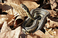 Godeffroy, New York - A garter snake (Thamnophis sirtalis) in the leaves on the forest floor at the Neversink Preserve of the Nature Conservancy on March 7, 2012.