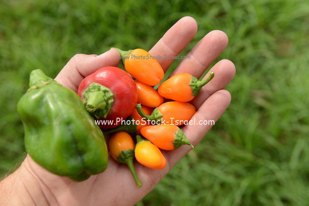 Hand holds organic peppers