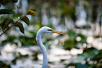 US, Florida, Everglades, Shark Valley. Great White Egret.
