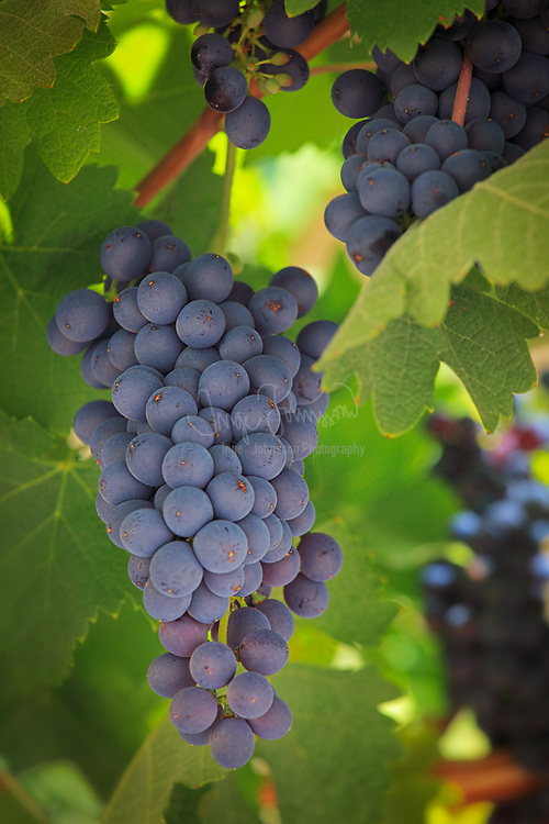 Grapes on the vine in Chelan wine country in Washington state