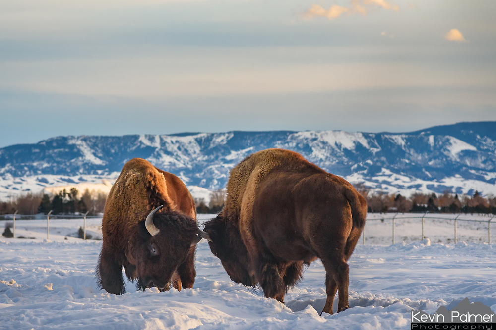Two bison spar gently in the snow. They are part of a small herd at Kendrick Park in Sheridan.