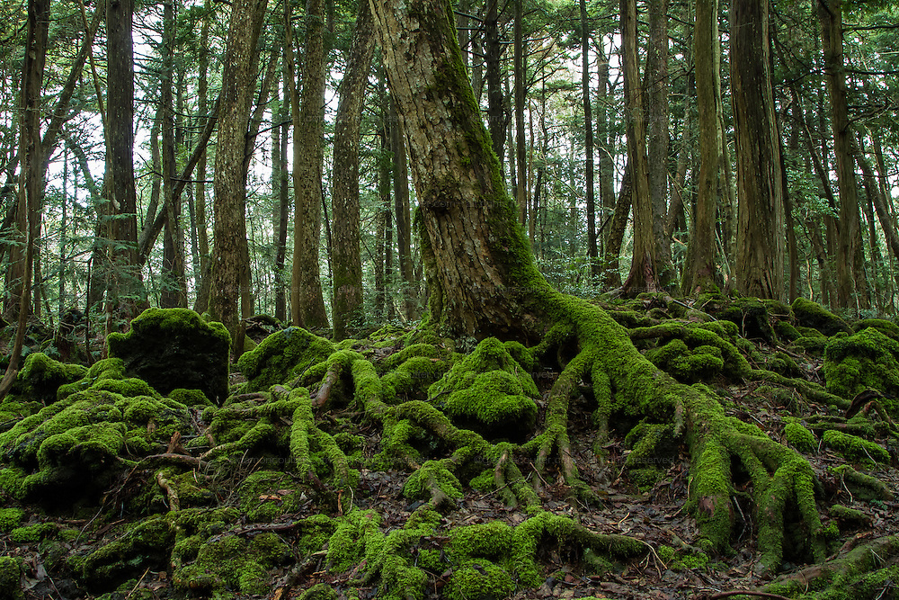 Aokigahara Forest, known as the suicide forest, near Mount Fuji in Yamanashi Prefecture, Japan. Monday March 21st 2016