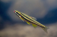 Clinch Dace<br /> <br /> Isaac Szabo/Engbretson Underwater Photography