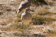 Stone curlew (Burhinus oedicnemus) on the ground. This wading bird is found in dry open scrublands of Europe, north Africa and south-western Asia. It feeds mainly on insects and other invertebrates, but will also prey on other small animals. Photographed in Israel
