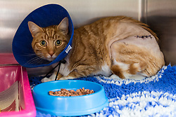 """""""Angus"""" the ginger tom cat who was discovered impaled on three steel fence spikes in North London continues to recover at the RSPCA's Harmsworth Animal Hospital in north London, following lifesaving surgery to remove the 20mm thick spikes from his body. PICTURED: 'Angus' in his cage in the ward. He is starting to eat a little when tempted by staff. London, March 14 2018."""