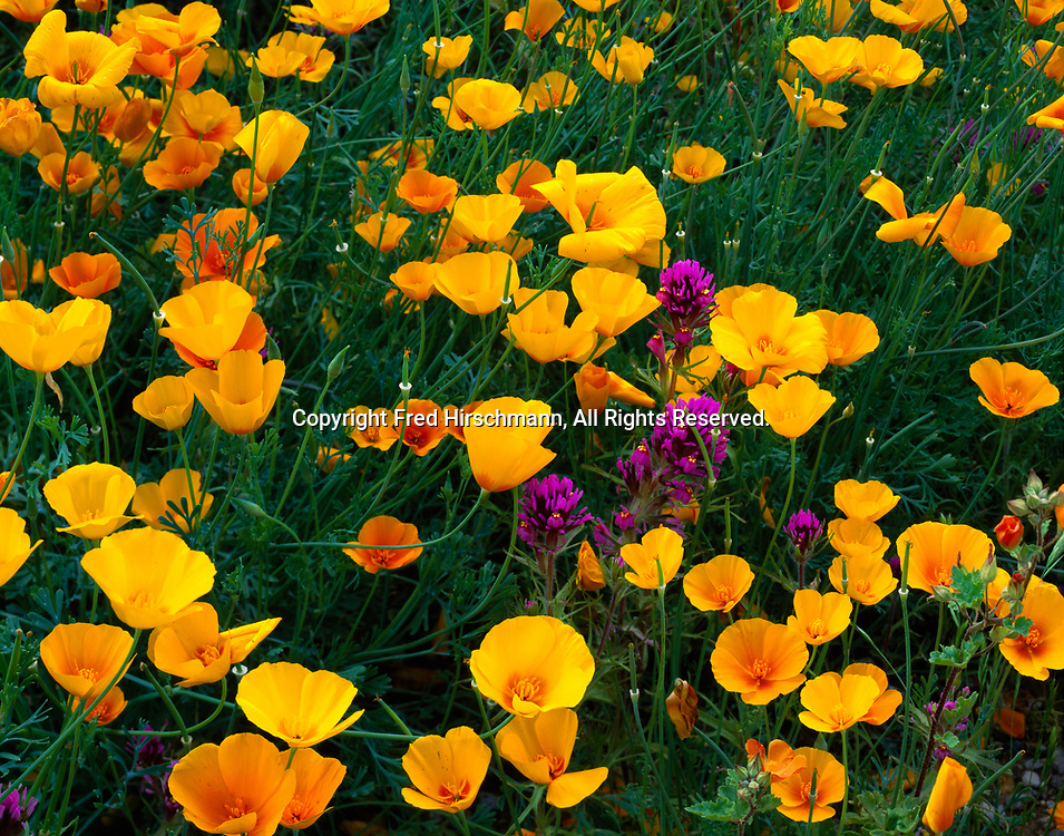 Gold poppy, Eschscholzia mexicanus, and owl's clover, Orthocarpus purpurascens, blooming north of the Puerto Blanco Mountains, Organ Pipe Cactus National Monument, Arizona.