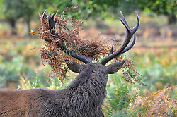 © Licensed to London News Pictures. 04/10/2017. London, UK.  A stag adorns its antlers with ferns as red deer take part in the annual rut in Richmond Park, which occurs during October and November.  Photo credit : Stephen Chung/LNP