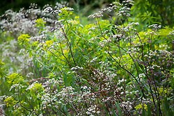 Anthriscus sylvestris 'Ravenswing' (Black - leaved Cow parsley) with Euphorbia ceratocarpa (Spurge)