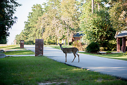 Photo demonstrates how deer have been pushed into the surrounding neighborhood by development of the area at Camp Strake, Conroe, Texas
