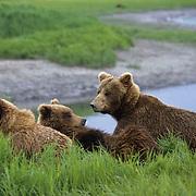 Alaskan Brown Bear, (Ursus middendorffi) Sow and Cubs resting along banks of McVik Creek.