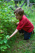 Boy picking berries at home in New Denver, Slocan Valley, West Kootenay, British Columbia, Canada (MR)