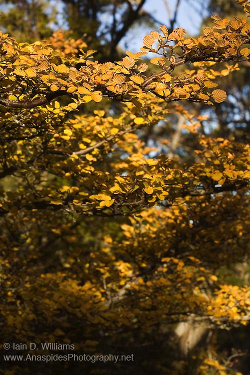 Autumn Colours Nothofagus gunni, Tasmania