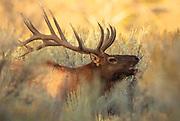 Bull Elk in Yellowstone National Park.