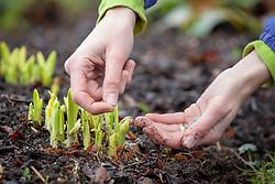 Protecting new shoots from slugs and snails using slug pellets