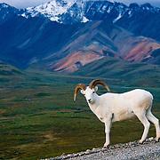 North America, United States, US, Northwest, Pacific Northwest, West, Alaska, Denali National Park, Denali NP, National Park, NP, Dall sheep roaming Polychrome Pass, Denali National Park, Alaska.