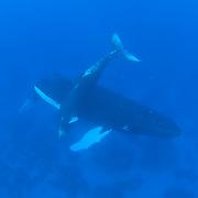 Humpback Whale (Megaptera novaeangliae) mother and a calf. Caribbean Ocean.
