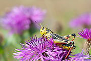 Large Banded Grasshopper, Arcyptera fusca, Male, Brasov-Buzau, Romania, short-horned grasshopper