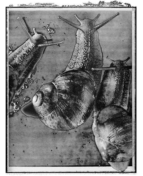 Solaroids - You Are What You Eat - Escargots De Bourgogne 1- A Solaroid and abstract black and white series of photos by photographer Paul E Williams. Taken in 1991 for an exhibition at The Association Photographers Gallery London .<br /> <br /> Visit our FINE ART PHOTO  PRINT COLLECTIONS for more wall art photos to browse https://funkystock.photoshelter.com/gallery-collection/Fine-Art-Photo-Prints-by-Photographer-Paul-Williams/C0000UM829OLMVv8 .