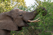 African elephant (Loxodonta africana) feeds on leaves in Zimanga Private Reserve, South Africa.