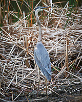 Great Blue Heron. Black Point Wildlife Drive, Merritt Island National Wildlife Refuge. Image taken with a Nikon D3s camera and 80-400 mm VR lens (ISO 200, 400 mm, f/5.6, 1/320 sec).
