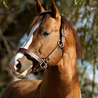 Thoroughbred Racing 2010 - Stallion OLD FORESTER