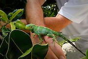 Fijian Banded Iguana, Brachylophus fasciatus, Likuliku Lagoon Resort, Malolo Island, Mamanucas, Fiji