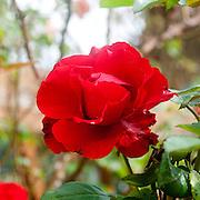 Blooming Red Garden Rose