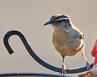 Carolina Wren (Thryothorus ludovicianus). Image taken with a Nikon D850 camera and 500 mm f/4 VR lens.
