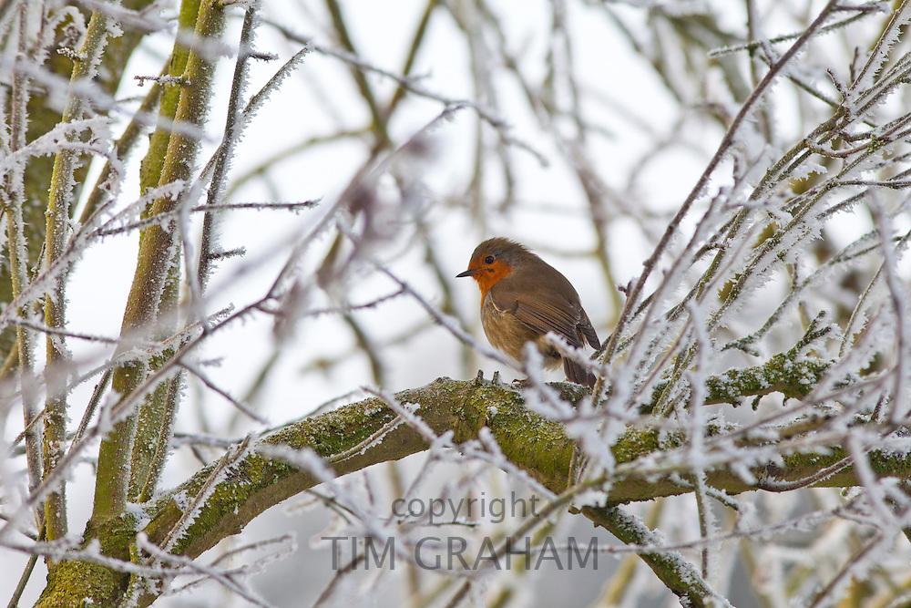 Robin on drystone wall in winter scene hoar frost in The Cotswolds, UK