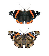 Red Admiral - Vanessa atalanta. Upperwing - top, underwing - bottom. Wingspan 60mm. An active, fast-flying butterfly that is also fond of basking in the sun. Adult has marbled dark-grey underwings and black upperwings with red bands and white spots. Commonest in July–August, but also seen in many other months. Larva is spiny and brown with yellow markings; feeds on Common Nettle, hidden inside 'tent' of woven-together leaves. Mainly a summer migrant from southern Europe, but adults hibernate in small numbers and emerge on sunny days in early spring.