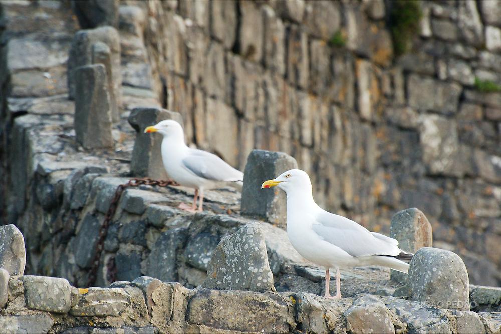 Seagulls at the rocks of hartland Quay