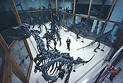 Iguanodons of Bernissart, Belgium were found in a coal mine and are now kept in a humidity controlled environment to prevent pyrite disease.  Pictured here with curator P. Bultynck at Royal Institute of Natural Sciences