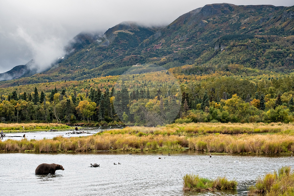 A lone grizzly bear fishing in the lower Brooks River with Dumpling Mountain behind in Katmai National Park and Preserve September 16, 2019 near King Salmon, Alaska. The park spans the worlds largest salmon run with nearly 62 million salmon migrating through the streams which feeds some of the largest bears in the world.