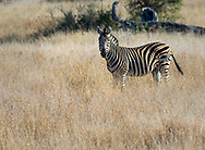 Zebra in  Kruger NP, South Africa