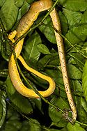 Cooke's Tree Boa (Corallus cookii, Corallus hortulanus cooki), low in the canopy, directly overhead at night. Trinidad
