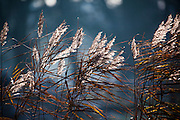Reeds backlit by Winter sun in the Vondelpark, Amsterdam