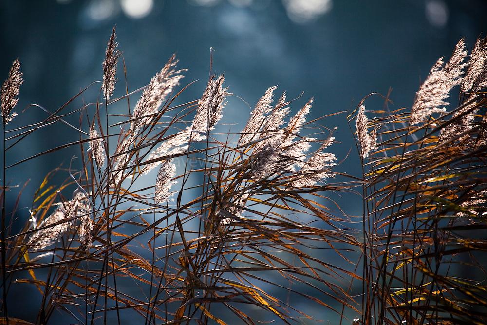 Reeds backlit by Winter sun in the Vondelpark, Amsterdam