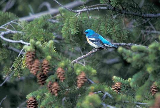 Lazuli Bunting, (Passerina amoena) Male in Southwest Montana.