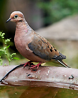 Mourning Dove. Image taken with a Nikon D850 camera and 400 mm f/2.8 lens.